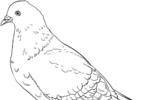 Tranh tô màu bồ câu gầm ghì đá