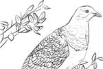 Tranh tô màu chim bồ câu new zealand