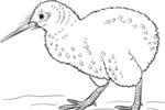 Tranh tô màu chim kiwi