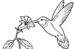 Tranh tô màu chim ruồi hút mật hoa