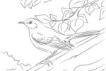 Tranh tô màu con chim nhại
